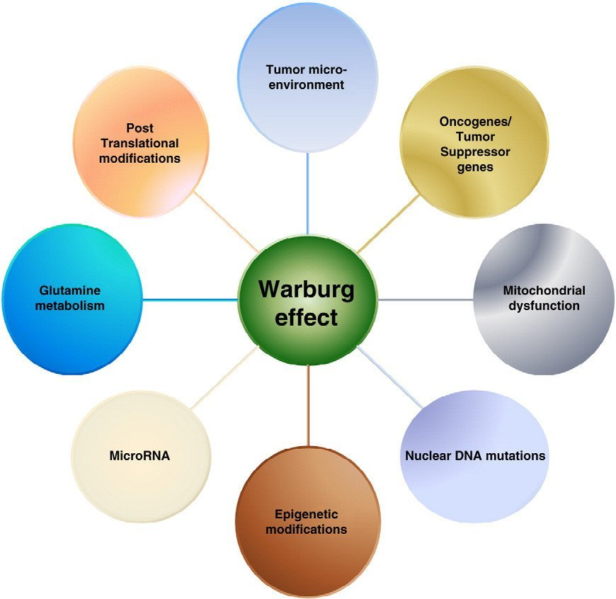 warburg effect
