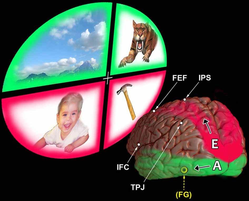 dorsal-ventral